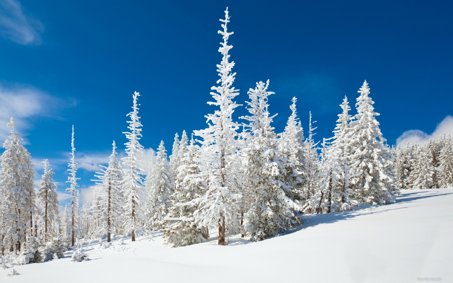 Белые-елки